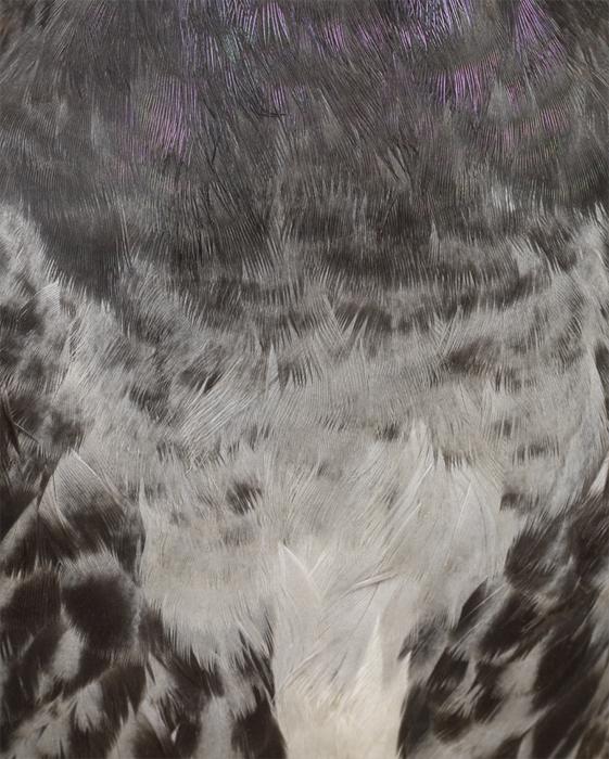 Columbidae III, 2011